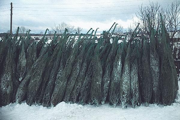 Продажа елок и разрешение на торговлю елками перед Новым годом