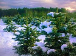 Кто контролирует продажу новогодних елок без документов